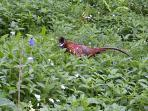 May 2015 pheasant in woods