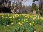 'A host of flowering daffodils'