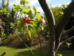 Our apple trees are flowering