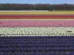 Tulip fields in the area