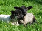Adorable spring lambs