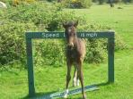 New Forest Foal at Holmsley