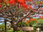 A flaming Flamboyan tree welcomes summer guests to Villa Franca, our well located community.