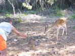 Feeding dear on a small island near Lumbarda.