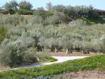 Panorama sugli ulivi secolari