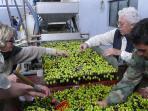 Spremitura delle olive al frantoio di Mazzarino