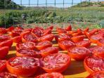 Essiccatura naturale al sole per i pomodori secchi