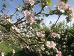 Blossom in our garden