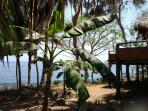 New banana trees - guests should be able to have fresh bananas very soon