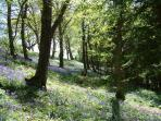 Carpets of Bluebells are a delight during April to June