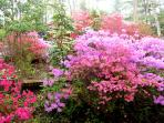 April 2015-looking out the kitchen window at the amazing azaleas!