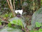 The famous Bat Plant - Unusual and not your normal flower