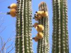 Cacutus Blooms
