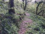 Lovely Bluebells along our woodland walk