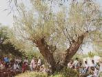 an ancient olive tree in garden