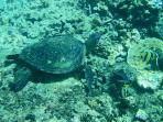 Sea turtle in the tide pool
