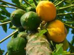 Pick your own papaya in the backyard