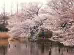 Cherry blossoms along the pond at Zempukuji park