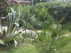 L'agave di circa 25 anni che sta per fiorire!