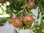 I melograni. Oltre a tre ulivi vi sono tre alberi di fico e due palme, una magnolia, un leccio, un