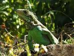 Observez la faune des environs comme cet iguane vert dans les bois proches