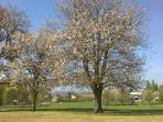 The cherry trees bursting forth in May