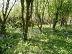 bluebells in the spinney