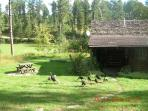 Wild turkeys roam frequently thru our 15-acre property.