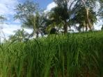 hill rice in the property