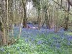 Bluebells in May in Alice Street Wood