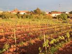 Adjacent to our backgarden is a small vineyard