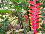 Beautiful Heliconia flower