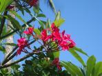 Plumeria flowers.