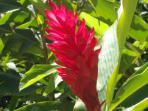Red ginger flower.