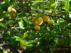 Agrumi limoni