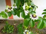 Passion Fruit Vine with Flowers