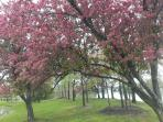 Cherry Blossoms at Jefferson Memorial Tidal Basin After Spring Storms