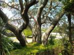 Giant Live Oak tree