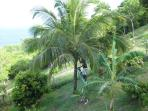Richard - the gardener, getting your fresh coconuts
