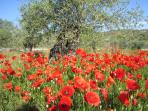 Poppies & Olive trees all around