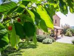 organic cherries in the garden
