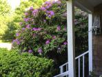 Front Enttrance, the Rhodie is in bloom now! ( May 25)