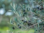 Natural olives growing everywhere. The best in the world