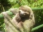Sloth o our jungle bridge