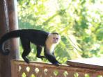 Visiting capucino monkey