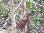 Say hello to the orang utan at the nearby sanctuary