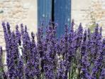 Les Acacias lavender in the garden