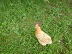 petit bonjour de nos poulettes! A bientôt !