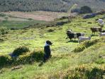 Cattle and sheep dog on the hill.
