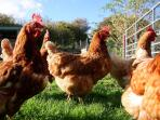 The Old Barns chickens